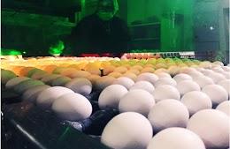 ÇORUM-YUMURTA - Xuất khẩu trứng gà